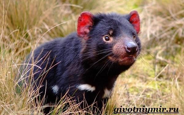 Тасманский-дьявол-животное-Образ-жизни-и-среда-обитания-тасманского-дьявола-3