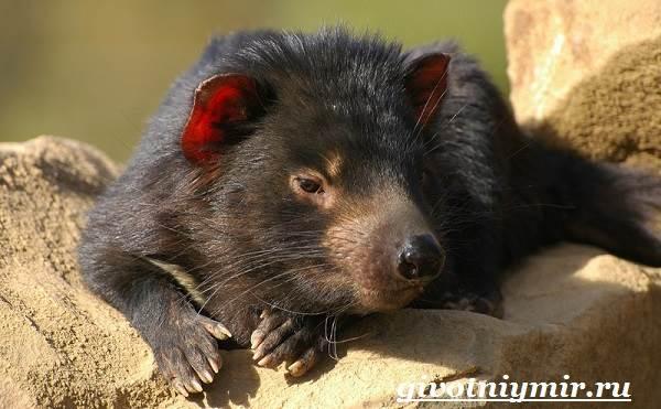 Тасманский-дьявол-животное-Образ-жизни-и-среда-обитания-тасманского-дьявола-4