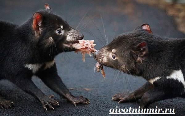 Тасманский-дьявол-животное-Образ-жизни-и-среда-обитания-тасманского-дьявола-7