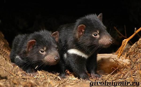Тасманский-дьявол-животное-Образ-жизни-и-среда-обитания-тасманского-дьявола-8