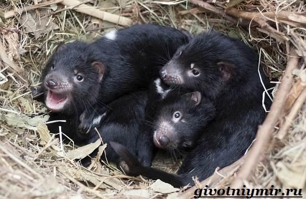 Тасманский-дьявол-животное-Образ-жизни-и-среда-обитания-тасманского-дьявола-9
