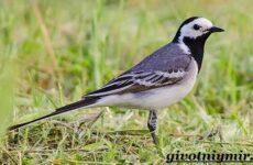 Трясогузка птица. Образ жизни и среда обитания трясогузки