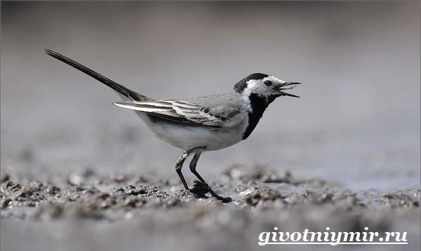 Трясогузка-птица-Образ-жизни-и-среда-обитания-трясогузки-10