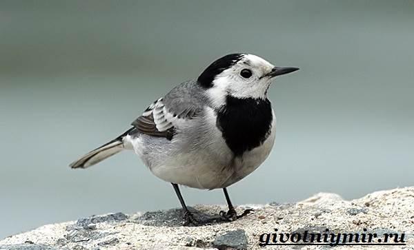 Трясогузка-птица-Образ-жизни-и-среда-обитания-трясогузки-5