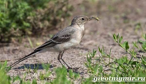 Трясогузка-птица-Образ-жизни-и-среда-обитания-трясогузки-6