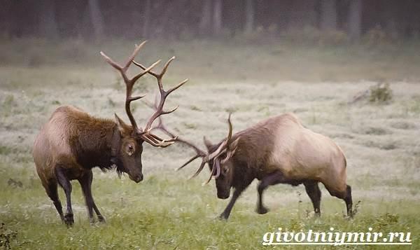 Вапити-олень-Образ-жизни-и-среда-обитания-вапити-6