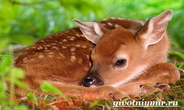 Вапити-олень-Образ-жизни-и-среда-обитания-вапити-8