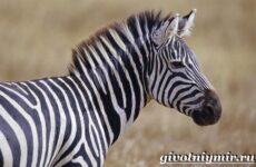 Зебра животное. Образ жизни и среда обитания зебры