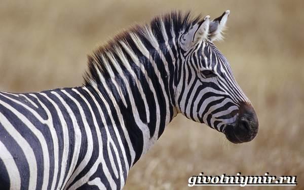 Зебра-животное-Образ-жизни-и-среда-обитания-зебры-1