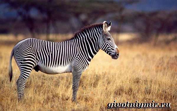 Зебра-животное-Образ-жизни-и-среда-обитания-зебры-2