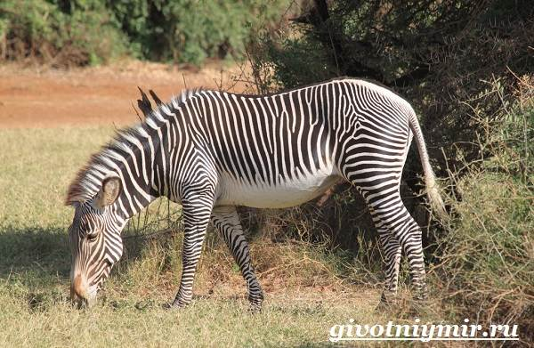 Зебра-животное-Образ-жизни-и-среда-обитания-зебры-3