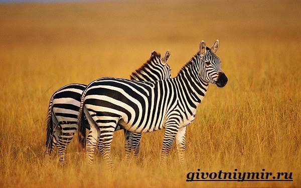 Зебра-животное-Образ-жизни-и-среда-обитания-зебры-4