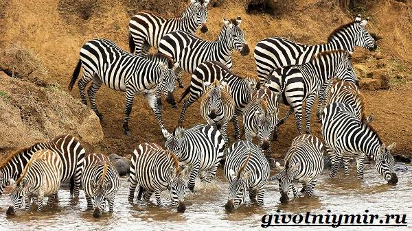 Зебра-животное-Образ-жизни-и-среда-обитания-зебры-5