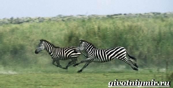 Зебра-животное-Образ-жизни-и-среда-обитания-зебры-6