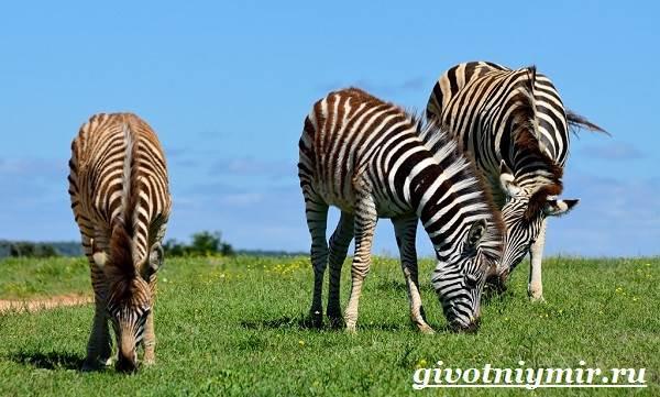 Зебра-животное-Образ-жизни-и-среда-обитания-зебры-7