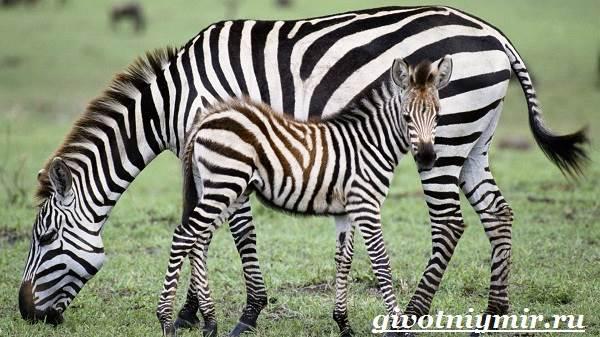 Зебра-животное-Образ-жизни-и-среда-обитания-зебры-8