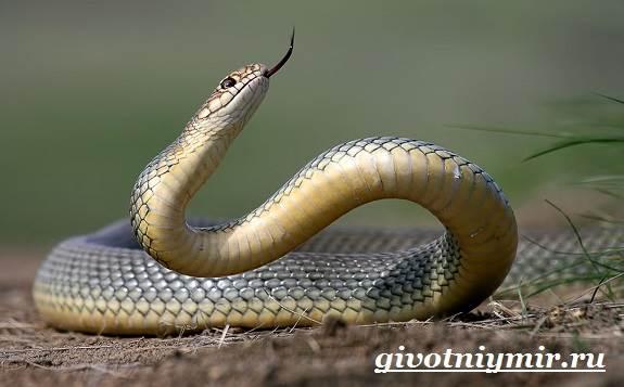 Желтобрюх-змея-Образ-жизни-и-среда-обитания-желтобрюха-3