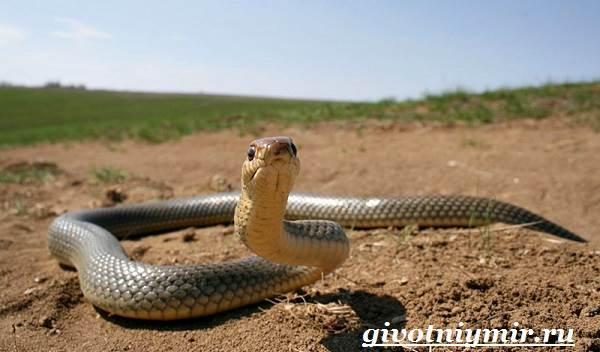 Желтобрюх-змея-Образ-жизни-и-среда-обитания-желтобрюха-7