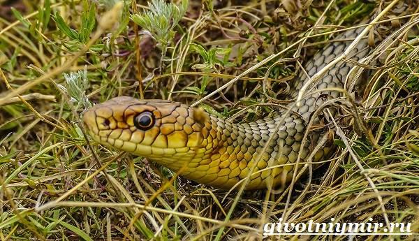 Желтобрюх-змея-Образ-жизни-и-среда-обитания-желтобрюха-8