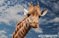 Жираф животное. Образ жизни и среда обитания жирафа