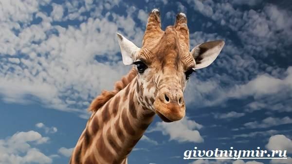 Жираф-животное-Образ-жизни-и-среда-обитания-жирафа-1