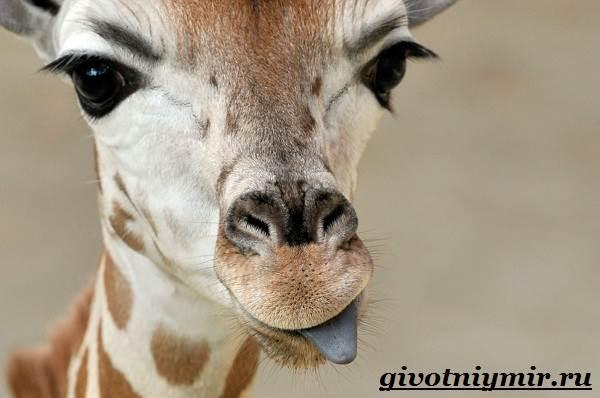 Жираф-животное-Образ-жизни-и-среда-обитания-жирафа-2