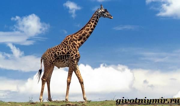 Жираф-животное-Образ-жизни-и-среда-обитания-жирафа-3
