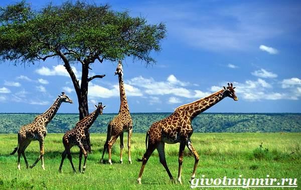 Жираф-животное-Образ-жизни-и-среда-обитания-жирафа-5