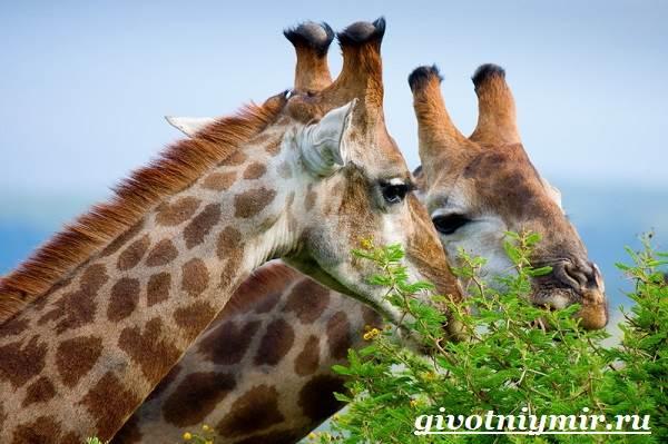 Жираф-животное-Образ-жизни-и-среда-обитания-жирафа-7