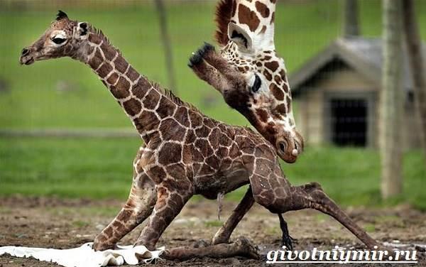 Жираф-животное-Образ-жизни-и-среда-обитания-жирафа-8