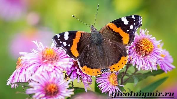 Адмирал-бабочка-Образ-жизни-и-среда-обитания-бабочки-адмирал-1