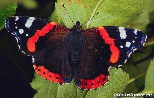 Адмирал-бабочка-Образ-жизни-и-среда-обитания-бабочки-адмирал-20