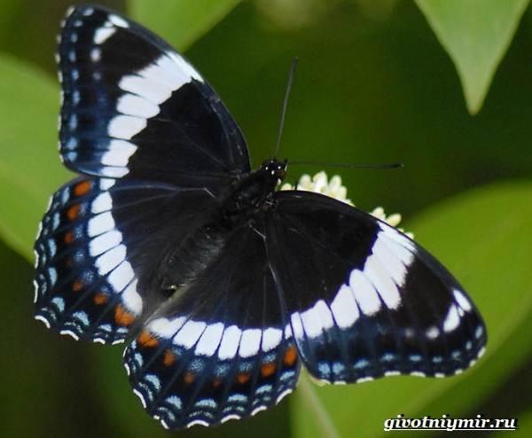 Адмирал-бабочка-Образ-жизни-и-среда-обитания-бабочки-адмирал-21