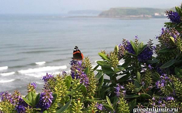 Адмирал-бабочка-Образ-жизни-и-среда-обитания-бабочки-адмирал-22