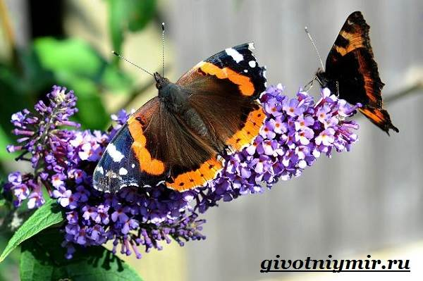 Адмирал-бабочка-Образ-жизни-и-среда-обитания-бабочки-адмирал-5