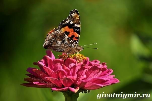 Адмирал-бабочка-Образ-жизни-и-среда-обитания-бабочки-адмирал-7