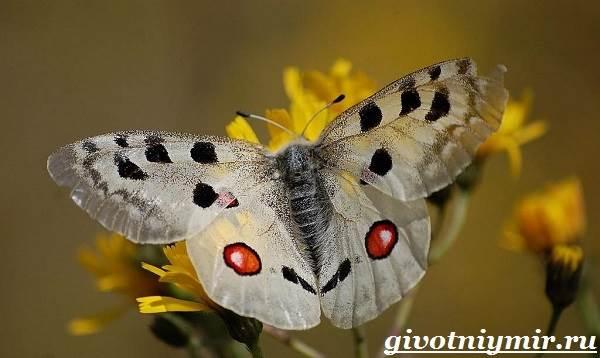 Аполлон-бабочка-Образ-жизни-и-среда-обитания-бабочки-аполлон-1