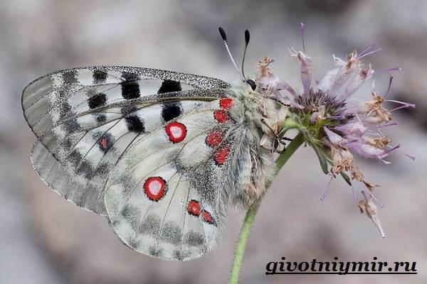 Аполлон-бабочка-Образ-жизни-и-среда-обитания-бабочки-аполлон-2