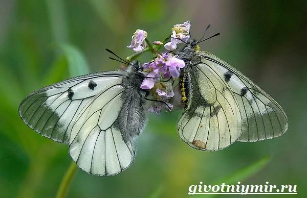 Аполлон-бабочка-Образ-жизни-и-среда-обитания-бабочки-аполлон-3