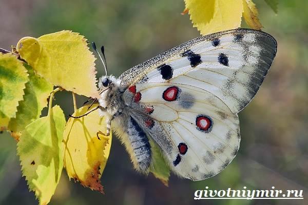 Аполлон-бабочка-Образ-жизни-и-среда-обитания-бабочки-аполлон-5