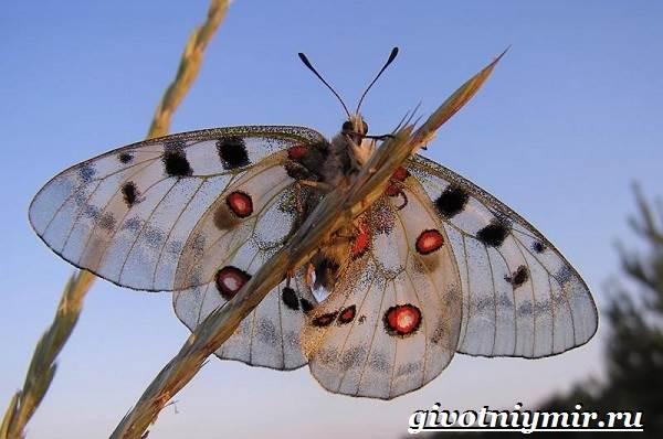 Аполлон-бабочка-Образ-жизни-и-среда-обитания-бабочки-аполлон-6
