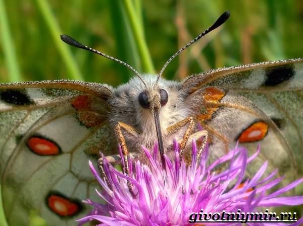 Аполлон-бабочка-Образ-жизни-и-среда-обитания-бабочки-аполлон-7