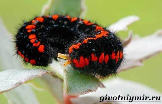 Аполлон-бабочка-Образ-жизни-и-среда-обитания-бабочки-аполлон-9