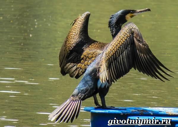 Баклан-птица-Образ-жизни-и-среда-обитания-баклана-1