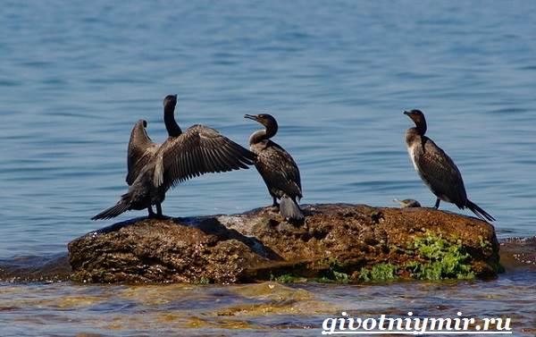 Баклан-птица-Образ-жизни-и-среда-обитания-баклана-5
