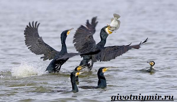 Баклан-птица-Образ-жизни-и-среда-обитания-баклана-6