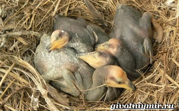 Баклан-птица-Образ-жизни-и-среда-обитания-баклана-7