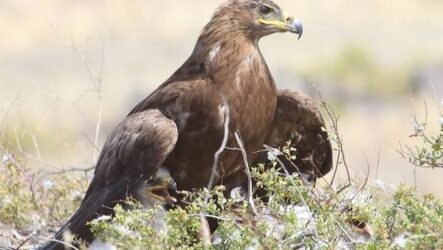 Беркут птица. Образ жизни и среда обитания беркута