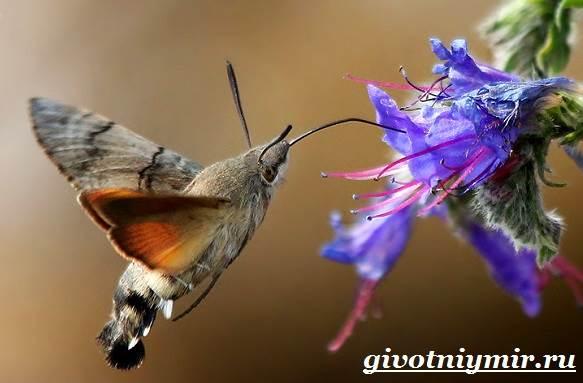 Бражник-бабочка-Образ-жизни-и-среда-обитания-бражника-1