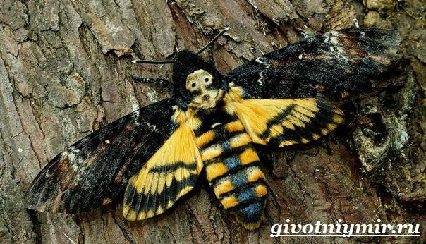 Бражник-бабочка-Образ-жизни-и-среда-обитания-бражника-2